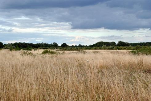 wheat field in stormy weather