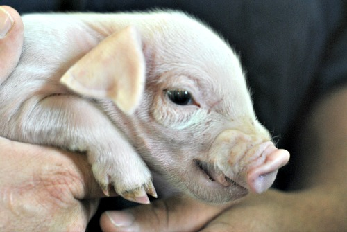 pork piglet