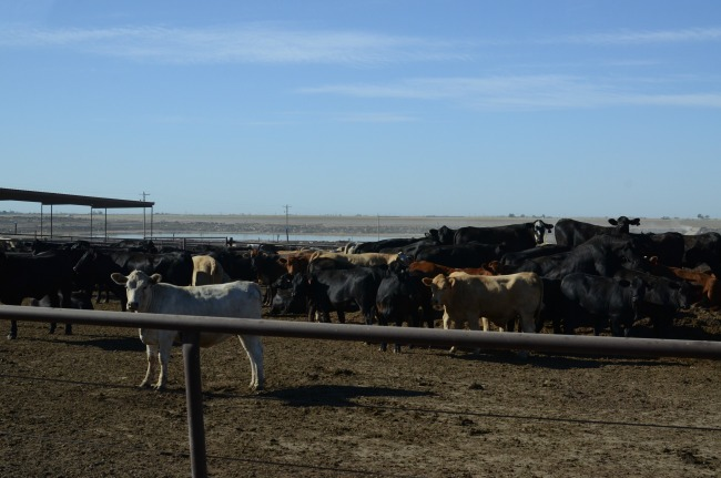 Hormones in Beef Production: a Candid Video from the Beef Belt