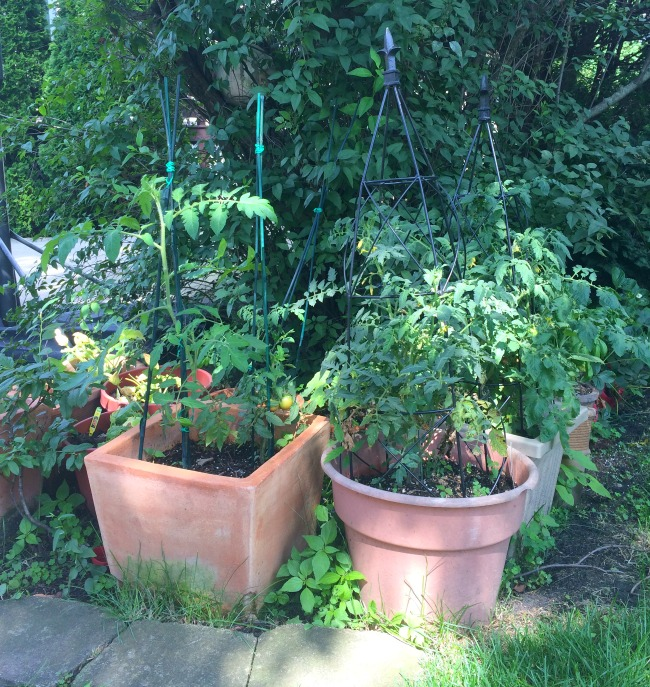 Our teeny tiny garden patch - proof that no yard is too small to plant veggies!